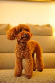 Toy poodle トイプードル ショコラ 3/25/2009 | トリミング直後 | Yasuhiko Ito | Flickr