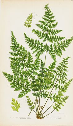 1850 Antique FERN print chromolithograph by TwoCatsAntiquePrints