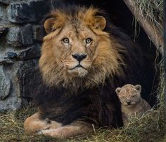 Zevs the lion is seen with one of his two cubs at Novosibirsk Zoo in Russia.