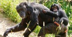 chimpanzé sorrindo - Pesquisa do Google