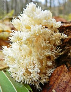 Comb Tooth Fungus (Hericium Coralloides)
