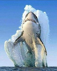 Over 100 shark species: a mammal or a fish? About facts and other interesting questions - Mammals Biggest White Shark, Great White Shark, Nature Animals, Animals And Pets, Cute Animals, Animals Sea, Beautiful Creatures, Animals Beautiful, Beautiful Nature Pictures