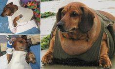 Fat Wiener Dog Obie