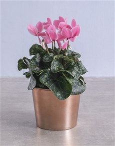 gifts: Cyclamen in Rose Gold Container! Womens Day Gift Ideas, Same Day Delivery Service, Ladies Day, Planter Pots, Container, Rose Gold, Plants, Gifts, Presents