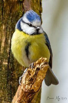 Blue Tit (Cyanistes caeruleus) by Barrie May Pretty Birds, Love Birds, Beautiful Birds, Animals And Pets, Baby Animals, Cute Animals, Small Birds, Little Birds, Vogel Gif