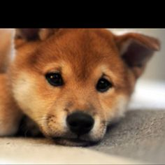 My dog  Skylar is  a Shiba....love her and this breed but not good without a fenced yard....