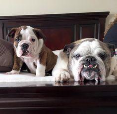 English Bulldog Mom & Pup