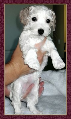 Grooming Coton de Tulear lots of great info!!!!