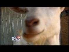 Family in Alabama will give their successful farm business to the best essay!… Write an Essay to Win a Goat Farm & Dairy for Almost Free