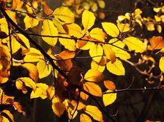 Golden leaves Photo by Chiara Bertoglio -- National Geographic Your Shot