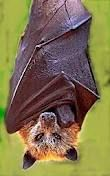 bat flying fox