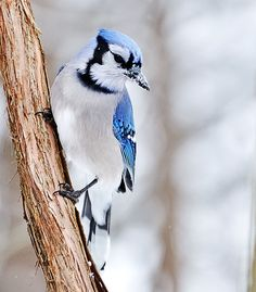 Blue Jays are my favorite birds I think they are so pretty!