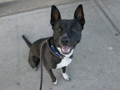 """AUTUMN - A1037285 - Brooklyn - Publicly Adoptable TO BE DESTROYED- 06/05/15 Young, Average rated, absolutely gorgeous and ready to restart her life—Autumn is pleading for someone to take her out of that cage at Brooklyn ACC. She's lived with kids in harmony, was healthy when she got there and just loves to play and play and play some more. Truth be told, she's a little rough on a leash—seems she's used to going in and out through a pet door. But now, Autumn has caught the dreaded """"shelter…"""