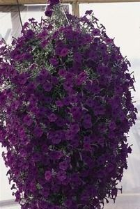 Pase Seeds - Petunia Wave Blue Annual Seeds, $6.99 (http://www.paseseeds.com/petunia-wave-blue-annual-seeds/)