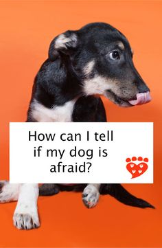 How can I tell if my dog is afraid? A guide to dog body language. Illustrated here by a fearful puppy Whoodle Dog, Goldendoodles, Tiny Dog Breeds, Dog Growling, Dog Shaking, Dog Body Language, Dog Commands, Dog Information, Crazy Dog Lady