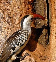 Hồng hoàng mỏ đỏ châu Phi | Red-billed hornbill (Tockus erythrorhynchus)(Bucerotidae) IUCN Red List of Threatened Species 3.1 : Least Concern (LC) | (Loài ít quan tâm)