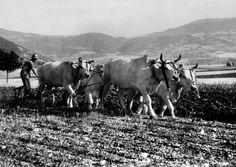 Casali Sant Antonio, cascia, anni 50. Il contadino ara la terra sassosa con le sue bestie aggiogate che trainano un aratro.