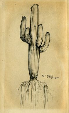 Google Image Result for http://heathertompkins.files.wordpress.com/2009/03/saguaro-drawing.jpg%3Fw%3D500%26h%3D808