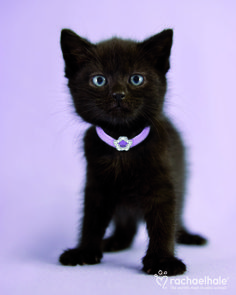 Tarquin (Domestic Shorthair) - Every girl should have a little black number. (pic by Rachael Hale)