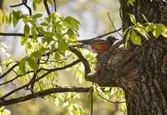 Tending to Her Nest by penny pausch on Capture Arkansas // New beginnings are a wonderful sign of spring.  Here is a little Robin taking care of her nest.  I am so thankful for new beginnings!  This is a reflective nature of our creator.