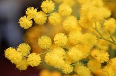 Mimosa flowers. Photo by Lejardindeclaire / Slowgarden