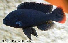 Neochromis greenwoodi