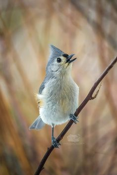 Tufted Titmouse Singing in Front of Autumn Colors - Bird Photo Print by JonathanElcockPhoto on Etsy