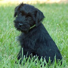 Preacher the Standard Schnauzer I love this breed of dog!