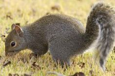 How to Clean and Cook a Squirrel: Bushy-tails are just like other game--the meat on the table is only as good as the care taken in preparation. | Missouri Department of Conservation