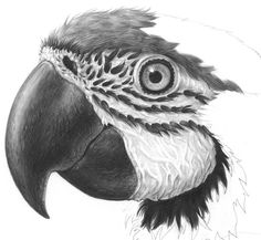 parrot pencil illustration - Google Search