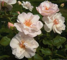 'Marie-Louise Drevon' Rose Photo