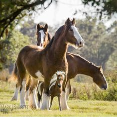 Big Clydesdales and their miniature horse friend. (Mark J. Barrett)