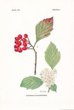 1919 Botany Print - Crataegus Calpodendron - Pear Hawthorn - Vintage Antique Flower Art Illustration Book Plate for Framing