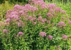 Joe Pye Weed (Eupatorium spp.)