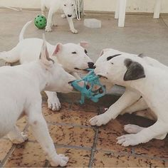 """""""Play time!! #fire #follow #exotic #exclusive #oreo #over #love #power #popular #kennel #nba #nike #dogs #dope #thebullyplanet"""""""