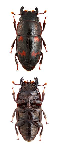 Librodor japonicus (Motschulsky,1857) F Nitidulidae