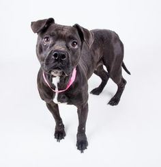 Hazel - URGENT - located at Dekalb County Animal Shelter in Decatur, Georgia - 4 year old Am. Pit Bull Mix - Hazel is cool as a cucumber. This four year old pocket pittie is calm, laid back, an ready to win you over. Meet her today! Her adoption includes her spay, microchip, vaccinations, and more!
