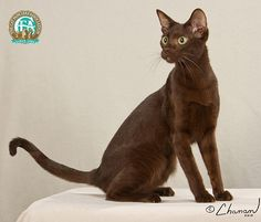 The first Havana Brown was imported into North America in the mid The breed was accepted for registration by CFA in 1959 and was granted Championship status in Rare Cats, Exotic Cats, Cats And Kittens, Brown Kitten, Brown Cat, Havana Cat, Havana Brown, Different Breeds Of Cats, Purebred Cats