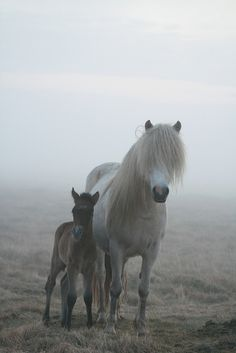Icelandic horses ❤️