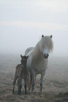 Icelandic horses (íslenskir hestar)