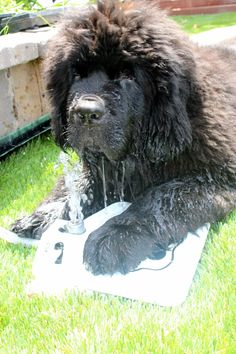 Elsa my newf puppy. Beautiful Dogs, Big And Beautiful, Doggies, Dogs And Puppies, Animals Planet, Newfoundland Dogs, Adorable Animals, Dog Stuff, Dog Love