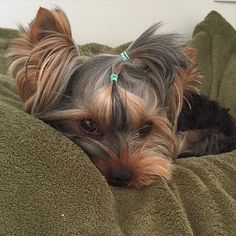 All pooped out now! Time to take a nap and rest till I go for walkies again later today!     via yorkiebaby_nick http://ift.tt/1h6Tkg1