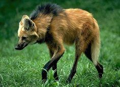 Lobo-guará (Chrysocyon brachyurus): espécie ameaçada de extinção. Endangered specie.
