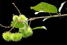 Rambutan, Nephelium lappaceum Linn. / SHAO TZU / ramboutanier: Philippine Herbal Medicine / Medicinal Herbs / StuartXchange Medicinal Herbs, Herbal Medicine, Herbalism, Plant Leaves, Plants, Plant, Medicinal Plants, Planets