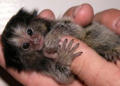 Because you can never have too many marmosets. #animals