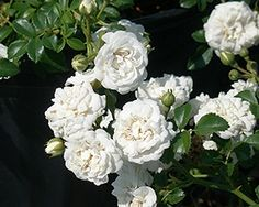 ~white drift rose http://www.acornfarms.com/images/rose_Drift_Icy.jpg
