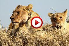 Living with lions #animals, #Africa, #travel, #lions, #videos, #videobox, #pinsland, https://apps.facebook.com/yangutu