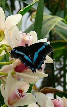 Beautiful Blue and Black Butterfly