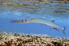Needlefish   Bunaken Island, Sulawesi,Indonesia  Photography by Hans-Gert Broeder