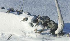 Doo it - just doo it: Fugle og hule huse... Snow buntings